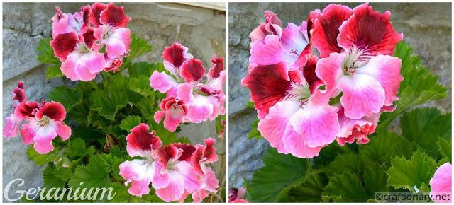 geranium-shaded-pink-free-printable-wallpaper