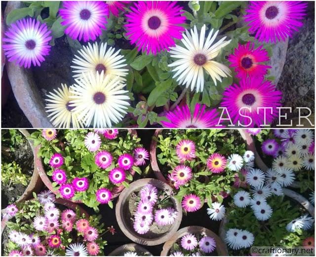 aster-bundle-of-flowers-spring-home-garden