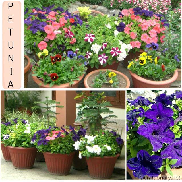 PETUNIA-blue-spring-flower-garden-display