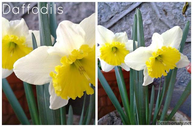 daffodils-white-yellow-wallpaper