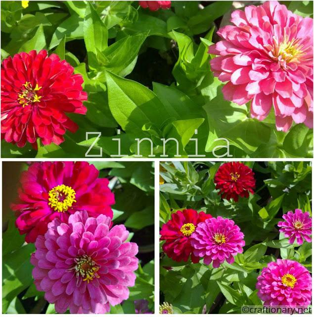 zinnia-red-pink-garden-display-home